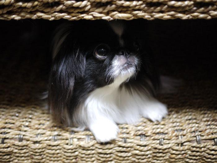ペキニーズ Blog-白ペキニーズ シロ♂ & 白黒ペキニーズ クロ♀のフォトブログ-2013.2.5.クロ10