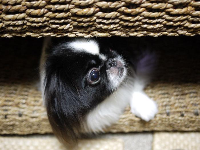 ペキニーズ Blog-白ペキニーズ シロ♂ & 白黒ペキニーズ クロ♀のフォトブログ-2013.2.5.クロ14
