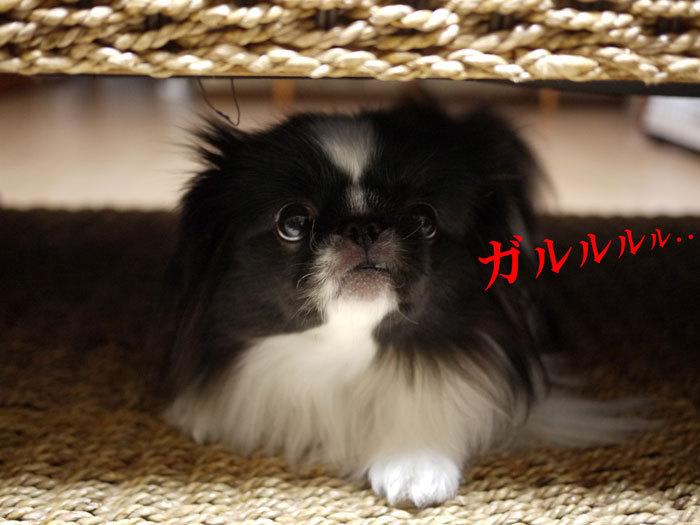 ペキニーズ Blog-白ペキニーズ シロ♂ & 白黒ペキニーズ クロ♀のフォトブログ-2013.2.5.クロ12