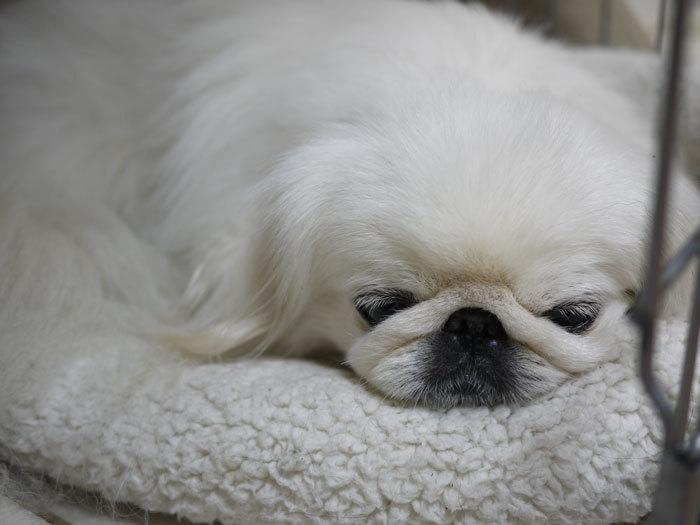 ペキニーズ Blog-白ペキニーズ シロ♂ & 白黒ペキニーズ クロ♀のフォトブログ-2013.2.7.シロ2