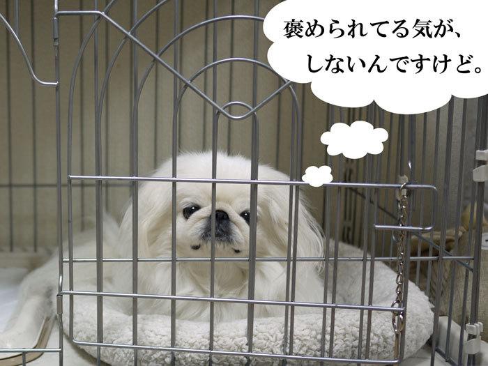 ペキニーズ Blog-白ペキニーズ シロ♂ & 白黒ペキニーズ クロ♀のフォトブログ-2013.2.7.シロ11