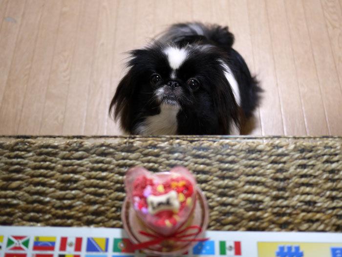ペキニーズ Blog-白ペキニーズ シロ♂ & 白黒ペキニーズ クロ♀のフォトブログ-2013.2.22.クロ3