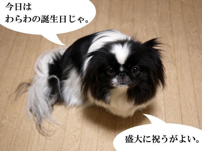 ペキニーズ Blog-白ペキニーズ シロ♂ & 白黒ペキニーズ クロ♀のフォトブログ-2013.2.22.クロ1