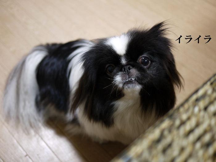 ペキニーズ Blog-白ペキニーズ シロ♂ & 白黒ペキニーズ クロ♀のフォトブログ-2013.2.22.クロ5