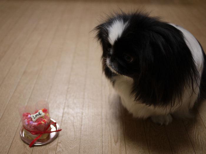 ペキニーズ Blog-白ペキニーズ シロ♂ & 白黒ペキニーズ クロ♀のフォトブログ-2013.2.22.クロ7