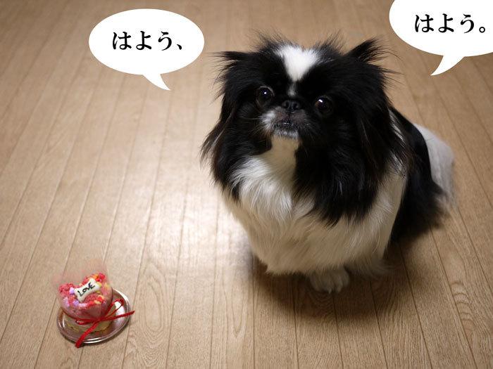 ペキニーズ Blog-白ペキニーズ シロ♂ & 白黒ペキニーズ クロ♀のフォトブログ-2013.2.22.クロ8