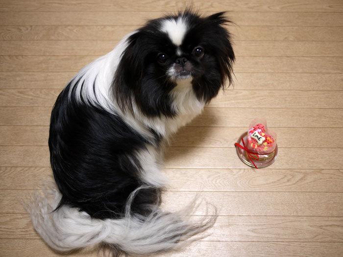 ペキニーズ Blog-白ペキニーズ シロ♂ & 白黒ペキニーズ クロ♀のフォトブログ-2013.2.22.クロ6