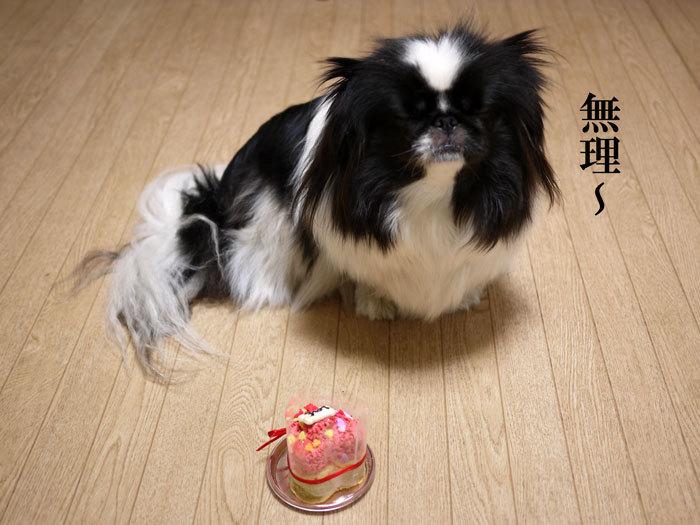 ペキニーズ Blog-白ペキニーズ シロ♂ & 白黒ペキニーズ クロ♀のフォトブログ-2013.2.22.クロ9