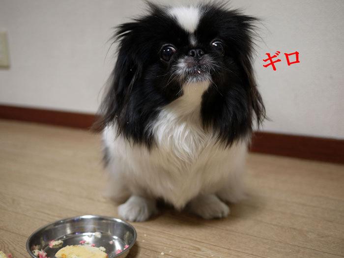 ペキニーズ Blog-白ペキニーズ シロ♂ & 白黒ペキニーズ クロ♀のフォトブログ-2013.2.22.クロ25