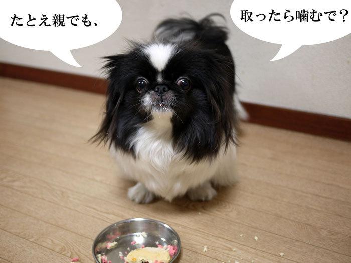 ペキニーズ Blog-白ペキニーズ シロ♂ & 白黒ペキニーズ クロ♀のフォトブログ-2013.2.22.クロ24