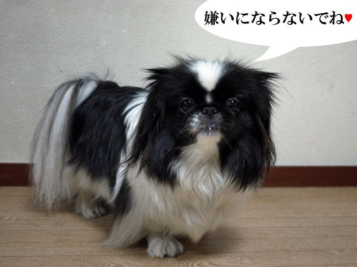ペキニーズ Blog-白ペキニーズ シロ♂ & 白黒ペキニーズ クロ♀のフォトブログ-2013.2.22.クロ27