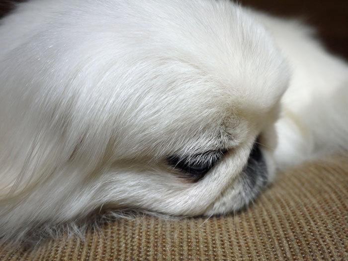 ペキニーズ Blog-白ペキニーズ シロ♂ & 白黒ペキニーズ クロ♀のフォトブログ-2013.2.26.シロ4