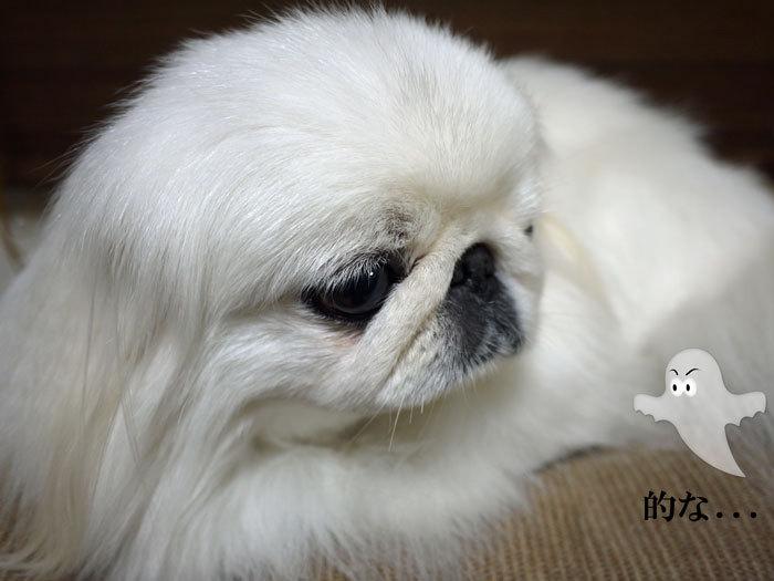 ペキニーズ Blog-白ペキニーズ シロ♂ & 白黒ペキニーズ クロ♀のフォトブログ-2013.2.26.シロ3