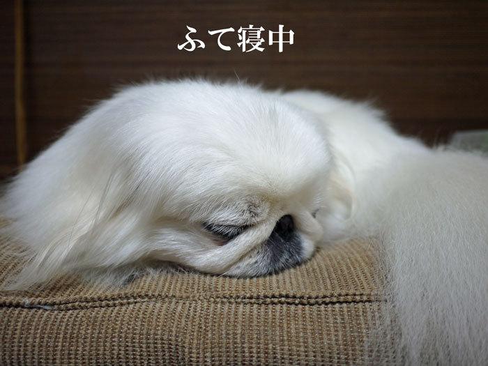 ペキニーズ Blog-白ペキニーズ シロ♂ & 白黒ペキニーズ クロ♀のフォトブログ-2013.2.26.シロ6