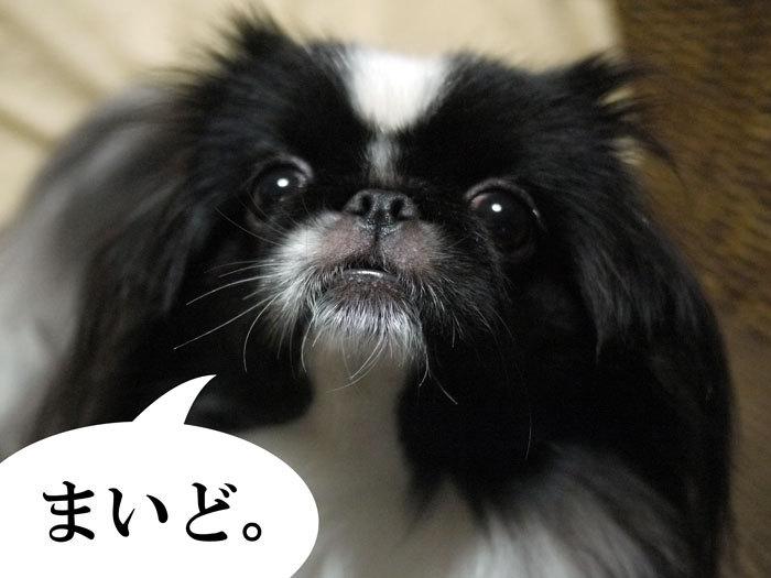 ペキニーズ Blog-白ペキニーズ シロ♂ & 白黒ペキニーズ クロ♀のフォトブログ-2013.3.2.クロ1