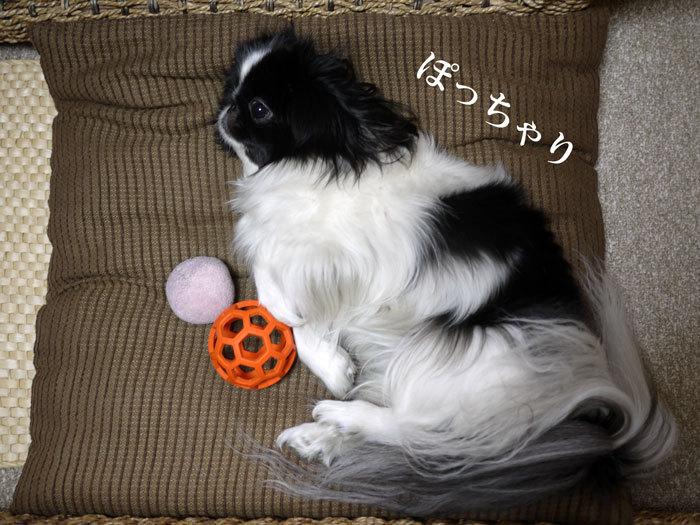 ペキニーズ Blog-白ペキニーズ シロ♂ & 白黒ペキニーズ クロ♀のフォトブログ-2013.3.2.クロ9