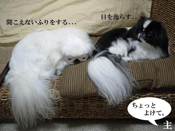 ペキニーズ Blog-白ペキニーズ シロ♂ & 白黒ペキニーズ クロ♀のフォトブログ-2013.3.5.シロクロ3