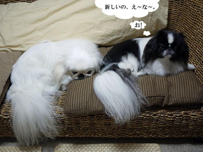 ペキニーズ Blog-白ペキニーズ シロ♂ & 白黒ペキニーズ クロ♀のフォトブログ-2013.3.5.シロクロ7