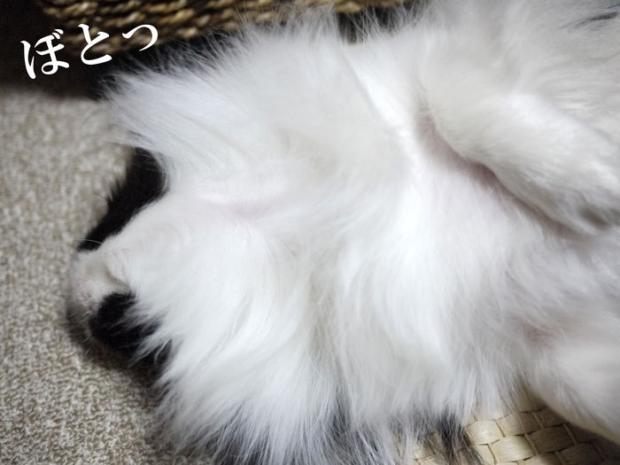 ペキニーズ Blog-白ペキニーズ シロ♂ & 白黒ペキニーズ クロ♀のフォトブログ-2013.3.15.クロ5