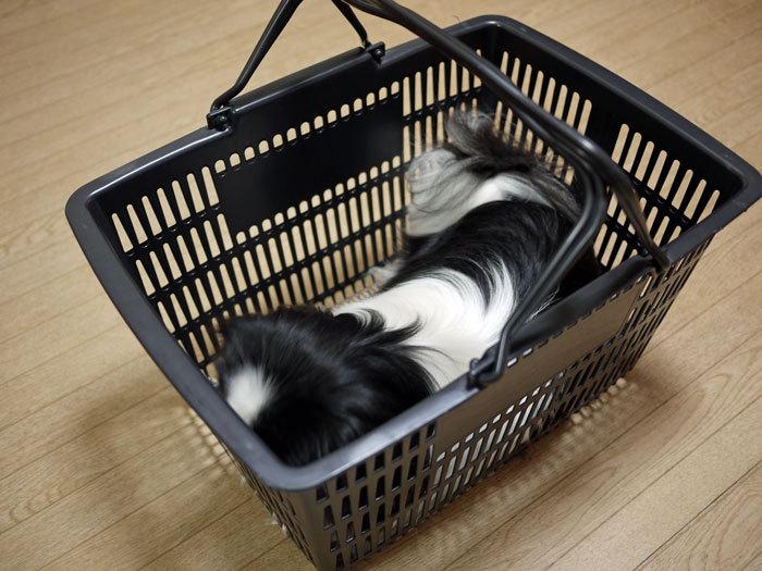 ペキニーズ Blog-白ペキニーズ シロ♂ & 白黒ペキニーズ クロ♀のフォトブログ-2013.3.28.クロ1
