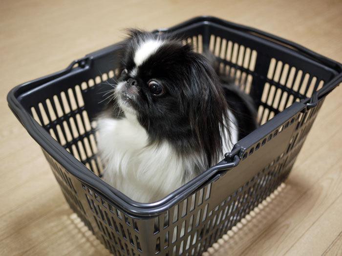 ペキニーズ Blog-白ペキニーズ シロ♂ & 白黒ペキニーズ クロ♀のフォトブログ-2013.3.28.クロ4