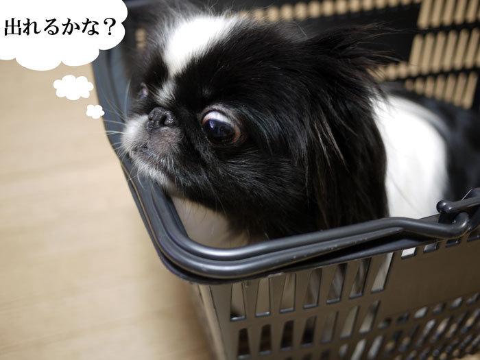 ペキニーズ Blog-白ペキニーズ シロ♂ & 白黒ペキニーズ クロ♀のフォトブログ-2013.3.28.クロ6