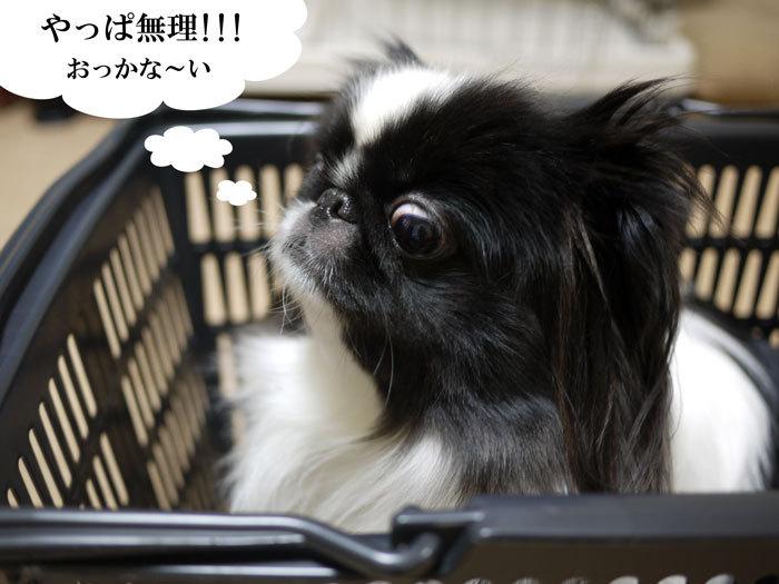 ペキニーズ Blog-白ペキニーズ シロ♂ & 白黒ペキニーズ クロ♀のフォトブログ-2013.3.28.クロ7