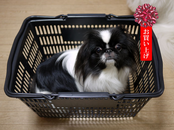 ペキニーズ Blog-白ペキニーズ シロ♂ & 白黒ペキニーズ クロ♀のフォトブログ-2013.3.28.クロ11
