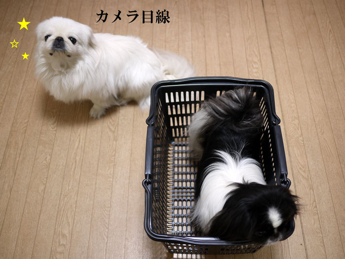 ペキニーズ Blog-白ペキニーズ シロ♂ & 白黒ペキニーズ クロ♀のフォトブログ-2013.3.28.シロクロ14