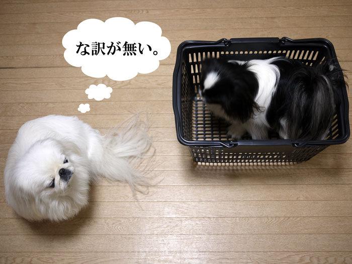 ペキニーズ Blog-白ペキニーズ シロ♂ & 白黒ペキニーズ クロ♀のフォトブログ-2013.3.28.シロクロ17
