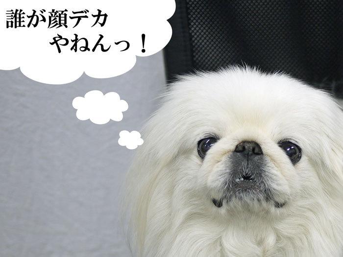 ペキニーズ Blog-白ペキニーズ シロ♂ & 白黒ペキニーズ クロ♀のフォトブログ-2013.4.9.シロ