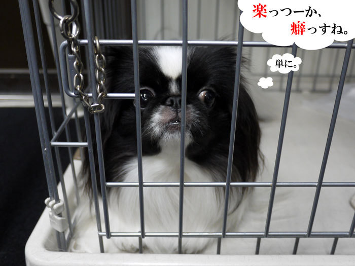 ペキニーズ Blog-白ペキニーズ シロ♂ & 白黒ペキニーズ クロ♀のフォトブログ-2013.4.9.クロ9