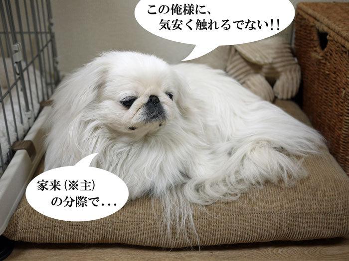 ペキニーズ Blog-白ペキニーズ シロ♂ & 白黒ペキニーズ クロ♀のフォトブログ-2013.4.18.シロ5