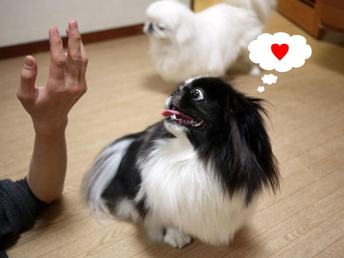 ペキニーズ Blog-白ペキニーズ シロ♂ & 白黒ペキニーズ クロ♀のフォトブログ-2013.4.26.シロクロ10