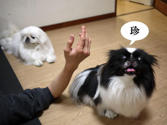 ペキニーズ Blog-白ペキニーズ シロ♂ & 白黒ペキニーズ クロ♀のフォトブログ-2013.4.26.シロクロ12