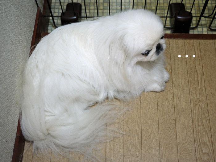 ペキニーズ Blog-白ペキニーズ シロ♂ & 白黒ペキニーズ クロ♀のフォトブログ-2013.5.26.シロ2