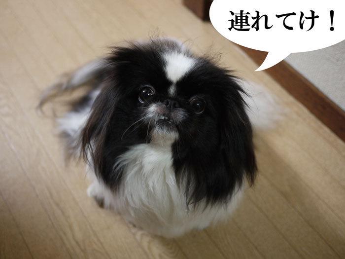 ペキニーズ Blog-白ペキニーズ シロ♂ & 白黒ペキニーズ クロ♀のフォトブログ-2013.5.26.クロ4