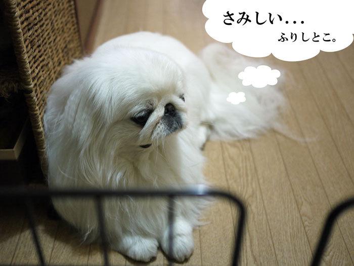 ペキニーズ Blog-白ペキニーズ シロ♂ & 白黒ペキニーズ クロ♀のフォトブログ-2013.5.26.シロ3