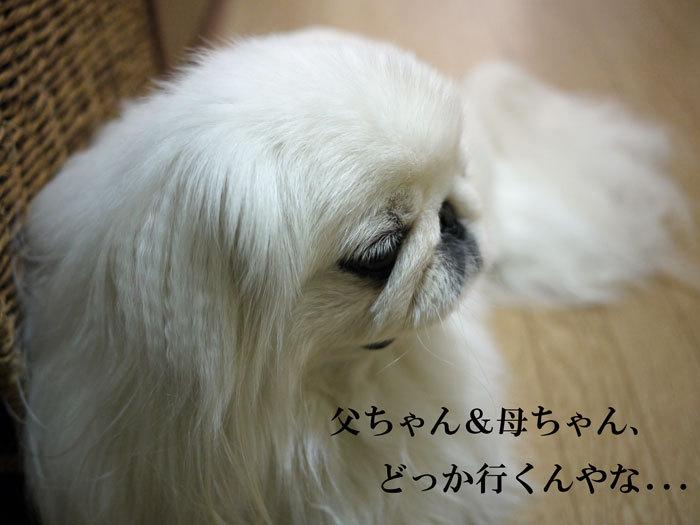 ペキニーズ Blog-白ペキニーズ シロ♂ & 白黒ペキニーズ クロ♀のフォトブログ-2013.5.26.シロ5