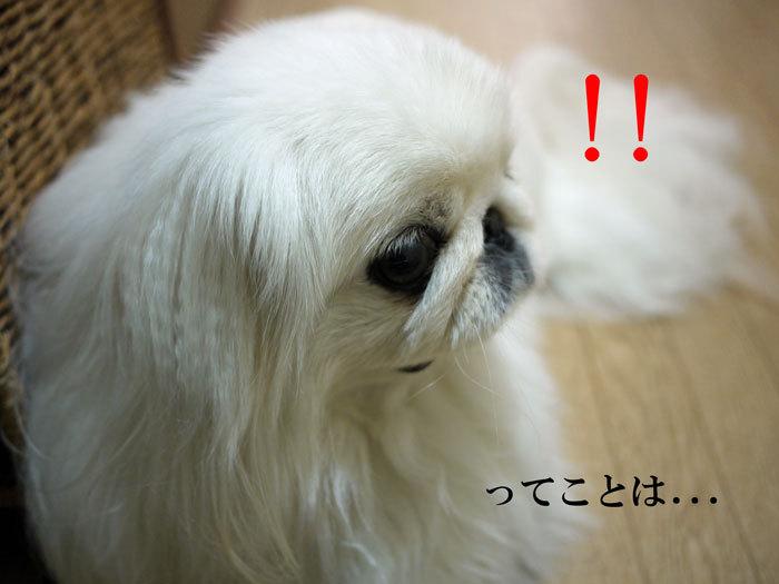 ペキニーズ Blog-白ペキニーズ シロ♂ & 白黒ペキニーズ クロ♀のフォトブログ-2013.5.26.シロ6
