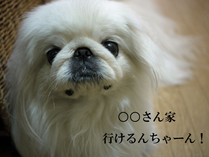 ペキニーズ Blog-白ペキニーズ シロ♂ & 白黒ペキニーズ クロ♀のフォトブログ-2013.5.26.シロ7