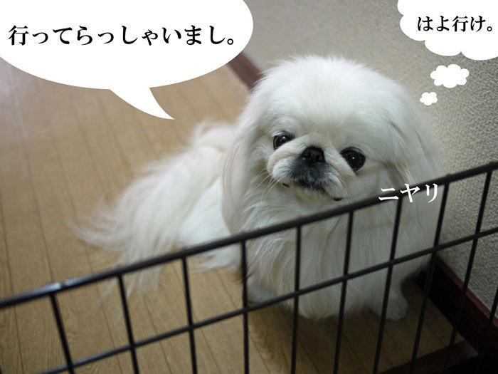 ペキニーズ Blog-白ペキニーズ シロ♂ & 白黒ペキニーズ クロ♀のフォトブログ-2013.5.26.シロ8