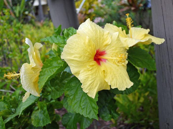 ペキニーズ Blog-白ペキニーズ シロ♂ & 白黒ペキニーズ クロ♀のフォトブログ-2013.6.4.Hawai'i 4