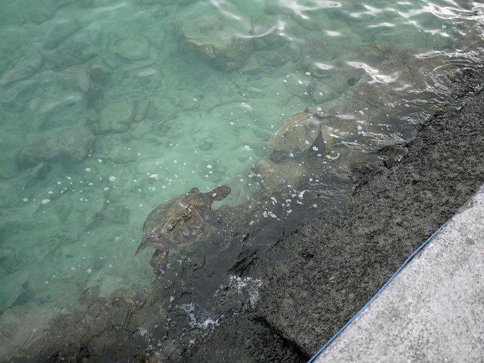ペキニーズ Blog-白ペキニーズ シロ♂ & 白黒ペキニーズ クロ♀のフォトブログ-2013.6.4.Hawai'i 14
