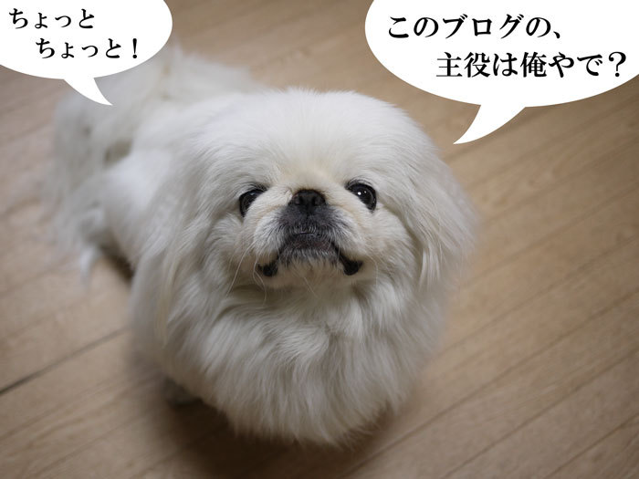 ペキニーズ Blog-白ペキニーズ シロ♂ & 白黒ペキニーズ クロ♀のフォトブログ-2013.6.13.シロ1