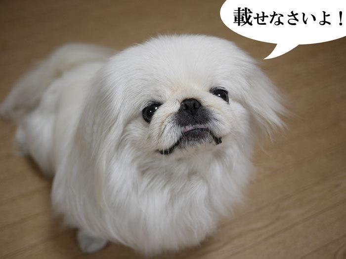 ペキニーズ Blog-白ペキニーズ シロ♂ & 白黒ペキニーズ クロ♀のフォトブログ-2013.6.13.シロ2