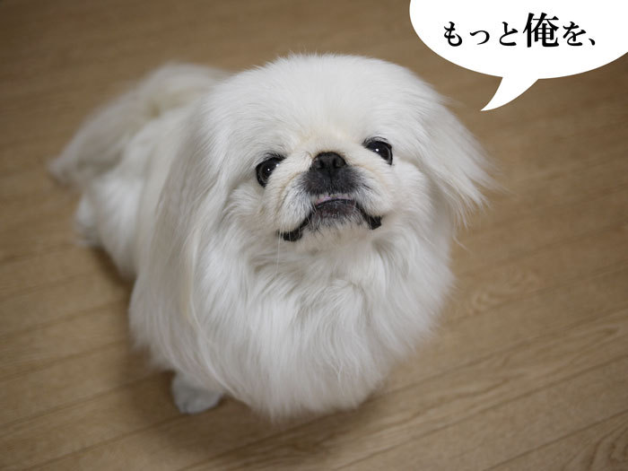 ペキニーズ Blog-白ペキニーズ シロ♂ & 白黒ペキニーズ クロ♀のフォトブログ-2013.6.13.シロ3
