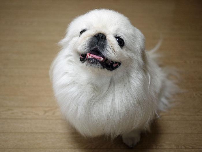 ペキニーズ Blog-白ペキニーズ シロ♂ & 白黒ペキニーズ クロ♀のフォトブログ-2013.6.13.シロ7