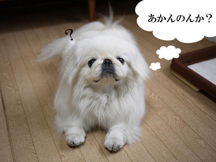 ペキニーズ Blog-白ペキニーズ シロ♂ & 白黒ペキニーズ クロ♀のフォトブログ-2013.6.13.シロ13