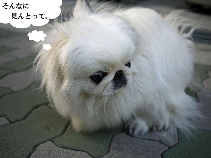 ペキニーズ Blog-白ペキニーズ シロ♂ & 白黒ペキニーズ クロ♀のフォトブログ-2013.6.18.シロクロ6